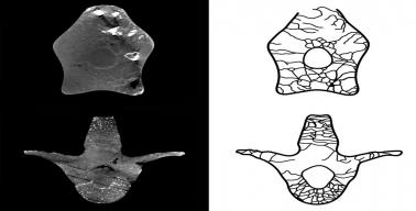 Imagem, retirada do artigo, mostra à esquerda dois cortes virtuais de duas vértebras, e à direita de cada uma há um desenho esquemático das cavidades de ar.