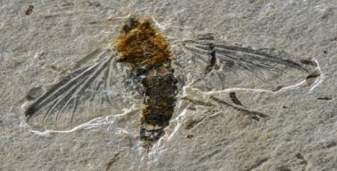 Photograph of a fossilized insect. Its body, which varies from reddish to dark brown, is gently curved to the left hand side. Its wings, especially the two anterior ones, are open and well visible. The insect lies in a slab of grey limestone.