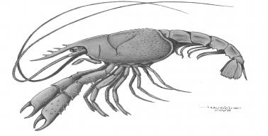 The image is a black and white drawing of how the animal would look like in life. It is a lobster, with a large cephalothorax, long antennae, and chelae. There are 3 pairs of pereopods, limbs used for walking, and other, smaller pleopods, used for swimming.