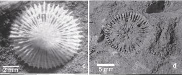 A imagem é uma figura do artigo. Consiste em duas fotos, em preto e branco, mostrando fósseis de corais em seção transversal. A foto da esquerda tem um fóssil branco sobre um sedimento escuro. A foto da direita mostra um fóssil menos preservado, que consiste mais no molde do coral. As seções transversais parecem um sol com muitos raios.