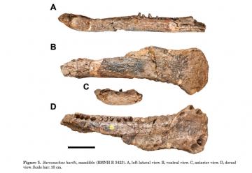 A foto é uma das figuras do artigo, e traz uma mandíbula fossilizada e incompleta em várias vistas. Em duas dessas vistas, é possível perceber vários dentes.
