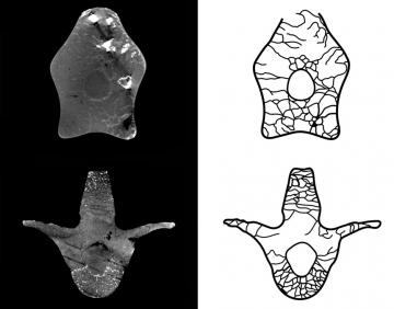 Image, from the publication, shows on the left two virtual cross-sections of two vertebrae, and on the right to each one there is a schematic drawing of the air cavities.