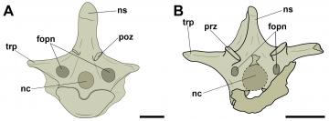 A imagem é uma das figuras do artigo. Consiste em um desenho esquemático de duas vértebras dorsais, uma ao lado da outra. Suas principais estruturas estão indicadas e são nomeadas por siglas.
